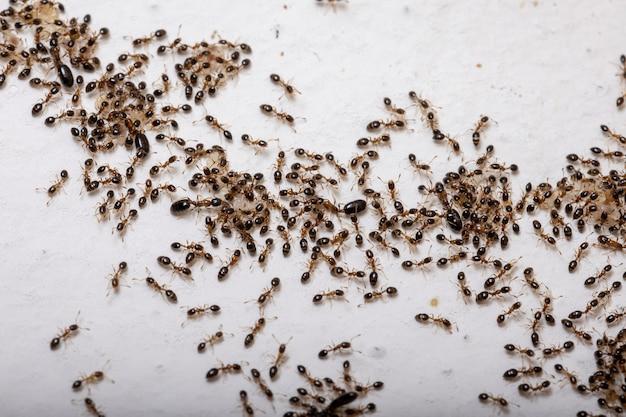 Взрослые цветочные муравьи вида monomorium floricola