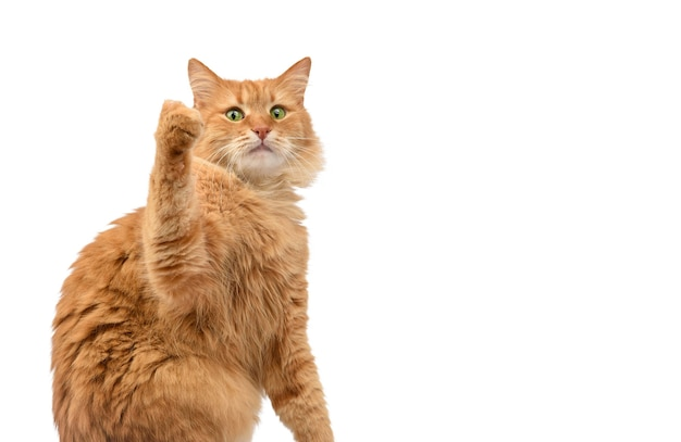 Взрослый пушистый рыжий кот сидит и поднял передние лапы вверх, животное, изолированное на белом фоне, копия пространства