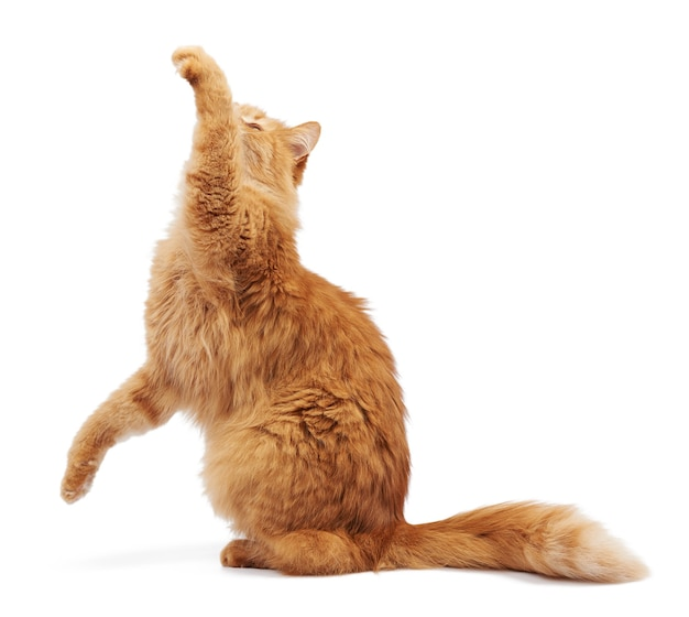 Adult fluffy red cat sitting and raised its front paws up