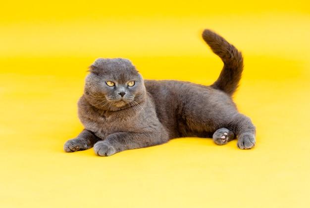 大人のひだ灰色の猫スコティッシュフォールドは黄色の背景にあります。スタジオ写真