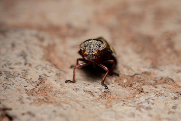 Взрослое насекомое-лягушонок вида deois flavopicta