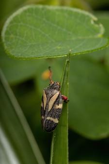 Взрослый лягушачок вида deois flavopicta