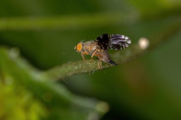 Tephritini 부족의 성충 초파리