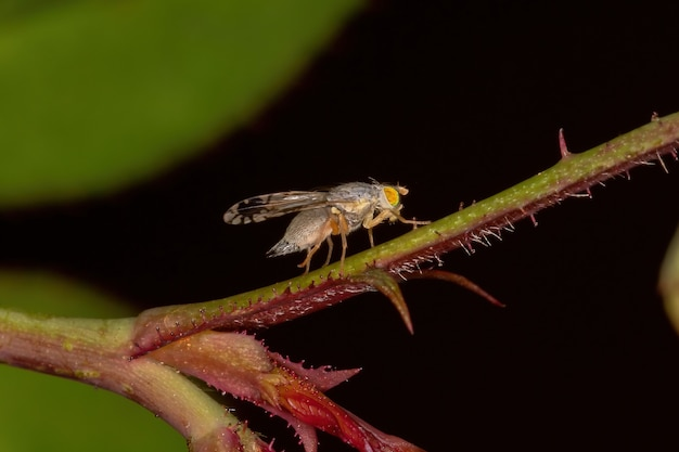 Adult fruit fly of the tribe tephritini
