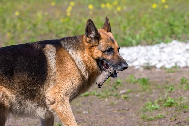Adult german shepherd sideways carries a stick in his mouth