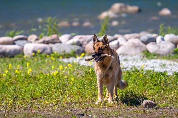 An adult german shepherd stands with a stick in his mouth