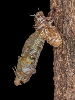 Взрослая гигантская цикада вида quesada gigas в процессе шелушения, при котором цикада развивается до взрослой стадии, отказываясь от старого экзоскелета, который теперь называется экзувией, в процессе метаморфоза
