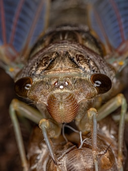 Adult giant cicada of the species quesada gigas in process of ecdysis in which the cicada evolves to the adult stage abandoning the old exoskeleton that is now called exuvia a process of metamorphosis