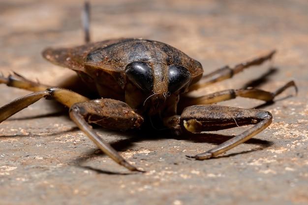 Взрослый гигантский водяной клоп из рода lethocerus