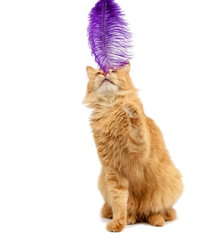 Adult ginger fluffy cat plays with a purple feather on a white