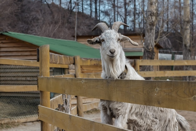 Adult goat with horns standing in the aviary behind a wooden fence.