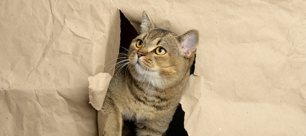 Adult gray british straight-eared cat peeking out of a hole in brown paper, funny muzzle, banner