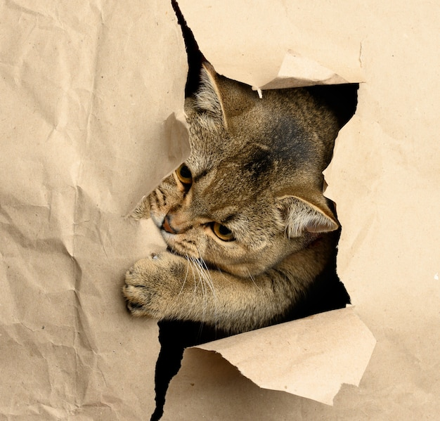 Adult gray british straight-eared cat peeking out of a hole in brown paper, funny muzzle, close up
