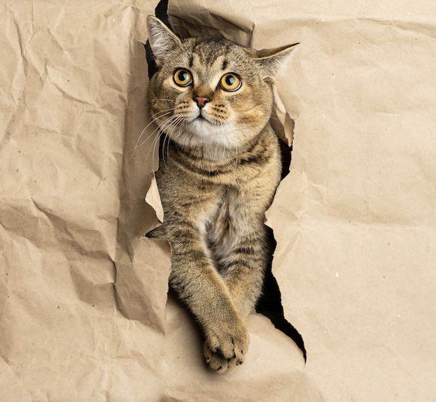 Adult gray british straight-eared cat peeking out of a hole in brown paper, funny muzzle