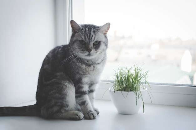 Adult gray cat sitting on a window, eating juicy grass
