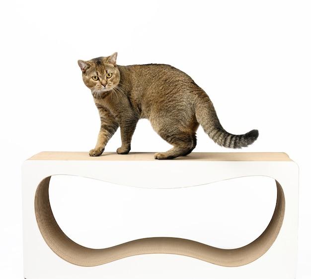 大人の灰色のスコットランドのまっすぐな猫は、画用紙の引っかき棒の上に立って、カメラをのぞき込みます。動物の休憩所。白色の背景