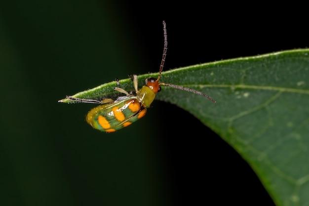 Diabrotica speciosa 종의 성충 녹색 딱정벌레