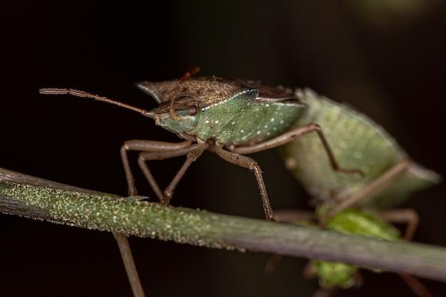 Adult green belly bug of the species diceraeus melacanthus coupling