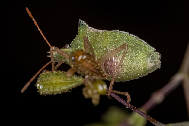 Adult green belly bug of the species diceraeus melacanthus