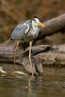 Adult grey heron with long legs hunting fish near fallen tree on river bank