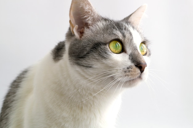 Adult grey white cat