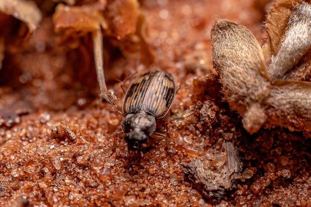 Carabidae과의 성인 지상 딱정벌레
