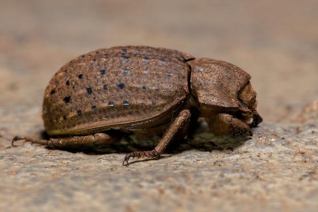 Omorgus suberosus 종의 성인 가죽 딱정벌레