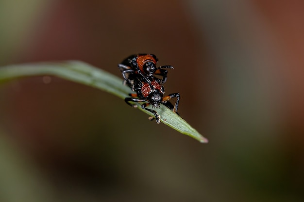 Chalepini 부족의 성인 hispine 딱정벌레 교미