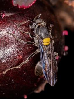 Взрослая медовая оса вида polybia jurinei