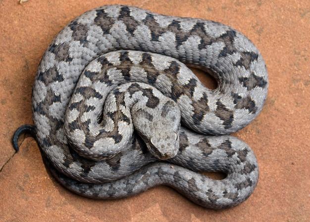 Adult horned viper (vipera latastei)