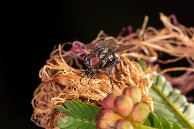 Adult house fly of the family muscidae
