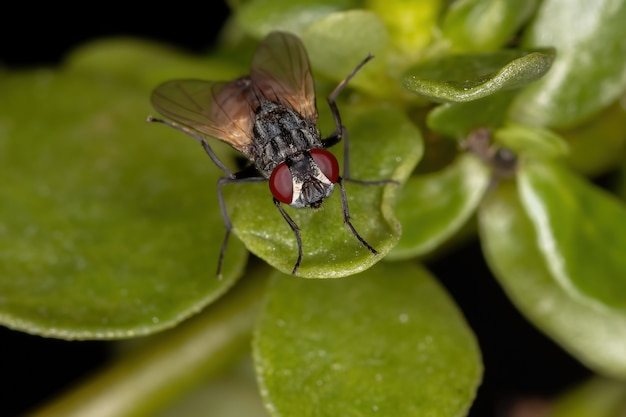 Adult house fly of the species musca domestica