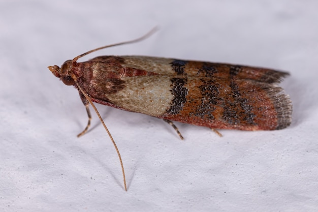 Plodia interpunctella 종의 성인 인도식 나방