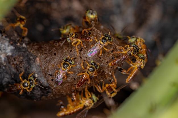 マクロビューでのtetragoniscaangustula種の成虫ジャタイミツバチ