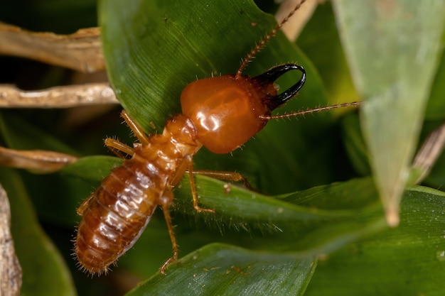 Syntermesmolestus種の成虫のjawsnoutedシロアリ