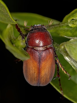 Adult june beetle of the subfamily melolonthinae