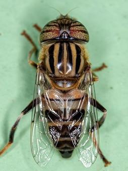 Eristalinus 속의 성충 석호파리