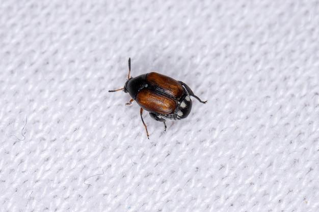 Megacerus 속의 성인 큰 뿔 bruchid 딱정벌레