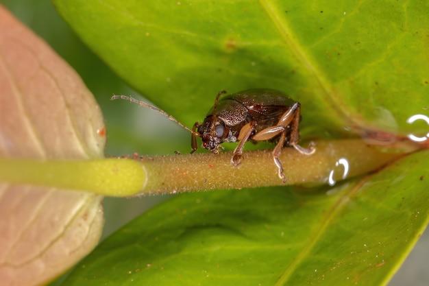 Adult leaf beetle of the genus colaspis
