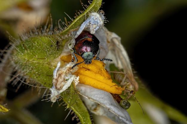 Adult leaf beetle of the subfamily eumolpinae on a solanum flower