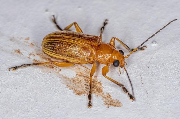 Adult leaf beetle of the subfamily eumolpinae
