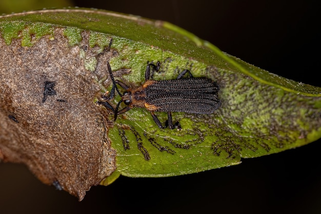 Adult leaf beetle of the tribe chalepini