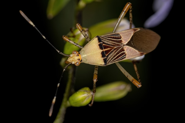 Adult leaf-footed bug of the genus hypselonotus