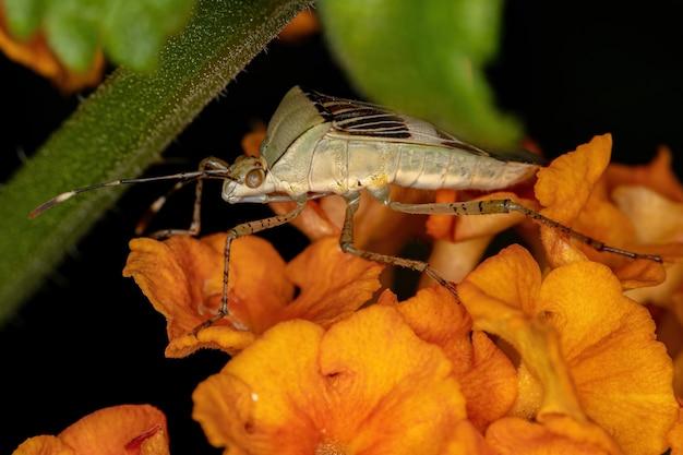 Взрослый листоногий клоп из рода hypselonotus на растении лантана