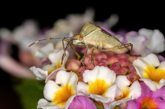 Lantana 식물에 있는 hypselonotus 속의 성충 잎발벌레