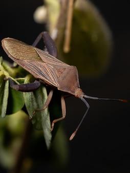 Athaumastus haematicus 종의 성충 잎발벌레