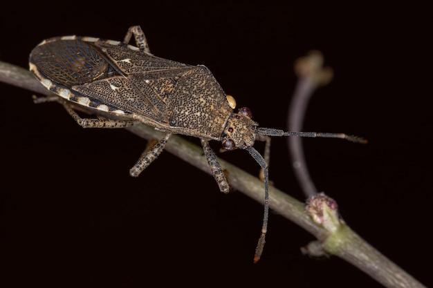 Catorhinthaguttula種の成虫ヘリカメムシ