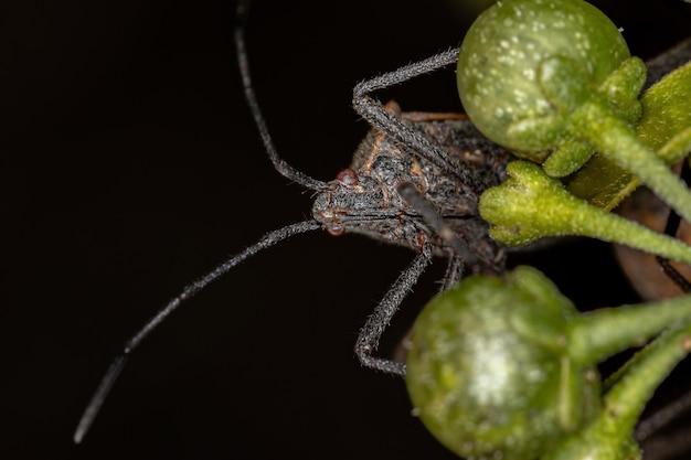 Phthiacnemia picta 종의 성충 잎발벌레