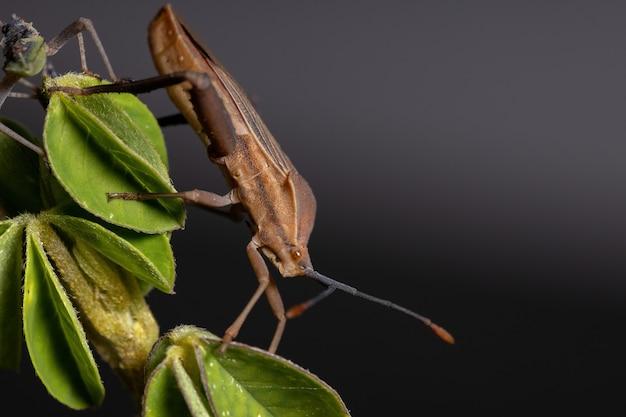 Adult leaf-footed bug of the species athaumastus haematicus
