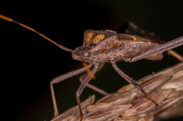 Adult leaf footed bug of the species leptoglossus zonatus